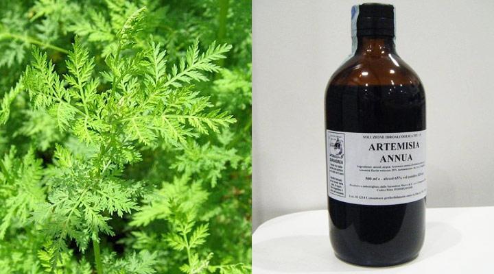 Artemisia Annua, testimonianze di Guarigione dal Cancro
