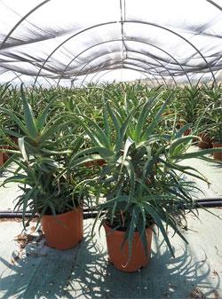 vendita piante aloe arborescens